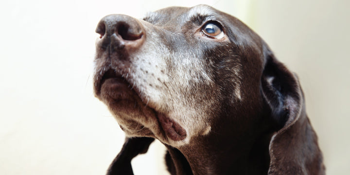 DETECTING LIVER DAMAGE IN DOGS & HOW TO