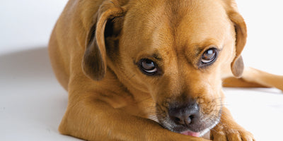 The Surprising Reason Why Your Dog Licks His Paws