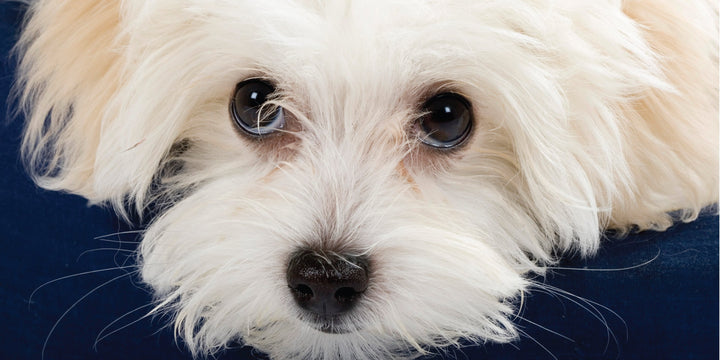 Tear Staining: A Healthy Remedy for Dogs