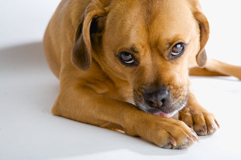 Prednisone for Dogs: Dealing with the Side Effects