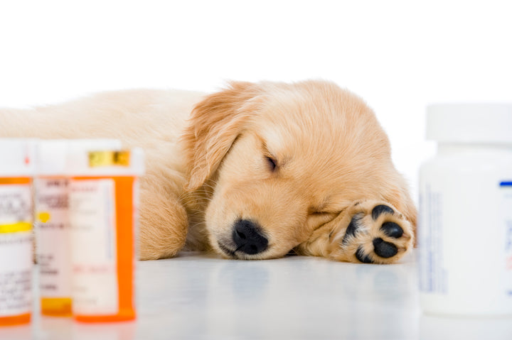 Your Dog is On Antibiotics, What Do You Do Next?