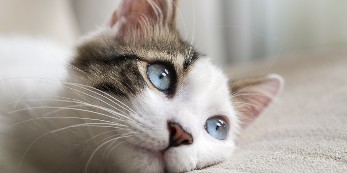 Bladder Infections & UTI in Cats