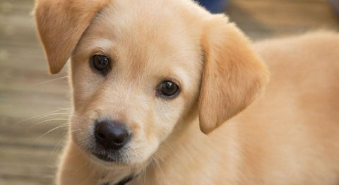 ic:Crate training your puppy