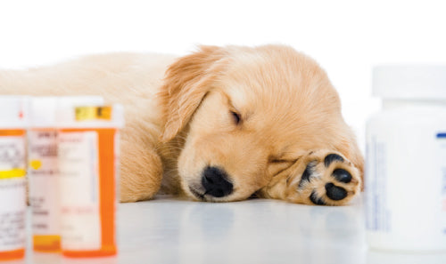 Your Dog is on Antibiotics: What To Do Next