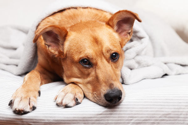 worms and parasites in dogs