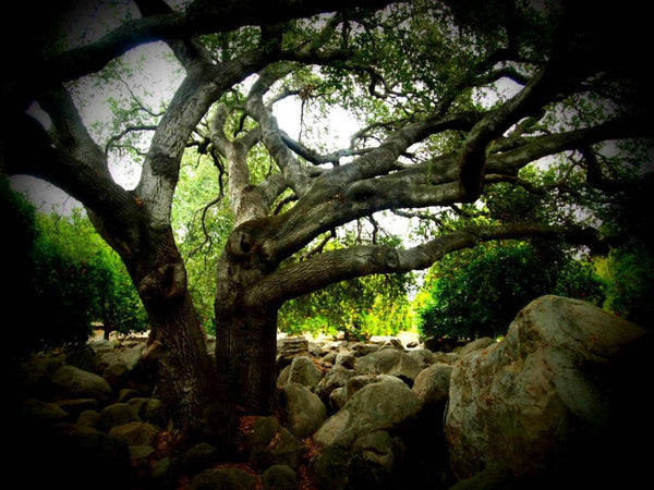 An oak tree in an Ojai orange grove