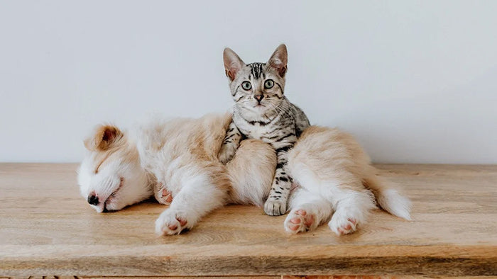 A cat lying on a puppy and looking at the camera.