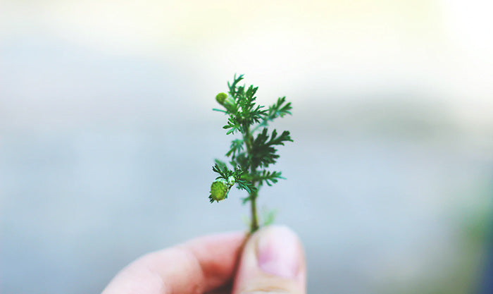 A tiny hemp plant is held between two fingers to demonstrate the benefits of full-spectrum CBD oil