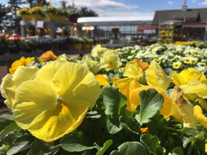 4 Spring Pansy Plants--Assorted Colors