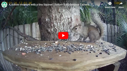 See What This Cute Tiny Squirrel Doing -Captured by Soliom Camera