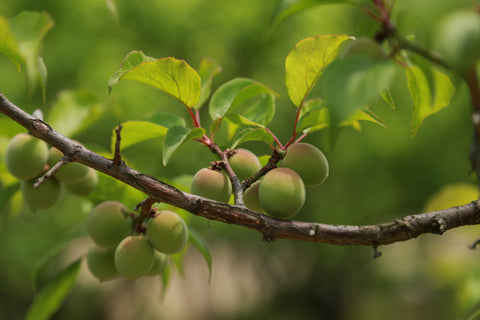 photo of green japanese ume apricot used in save me from sun and sweat formulation