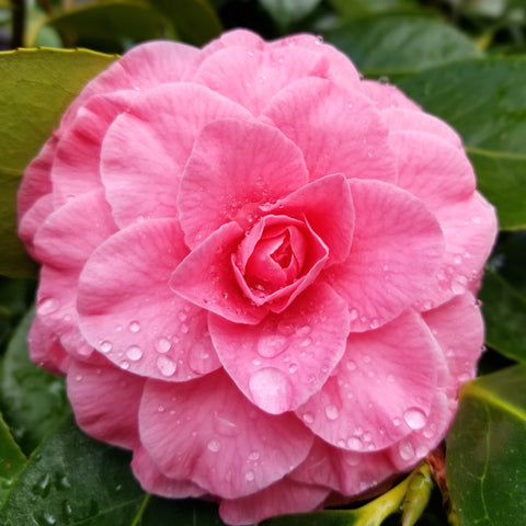 camelia with raindrop