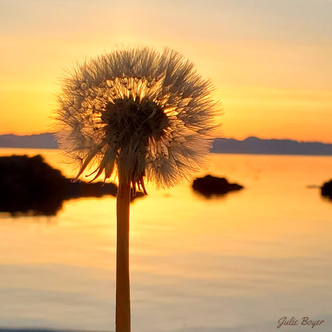 Sunrise with a dandelion gone to seed