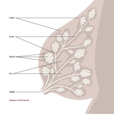 Anatomy of a Human breast