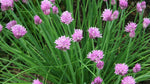 Chives - Bunch 30g