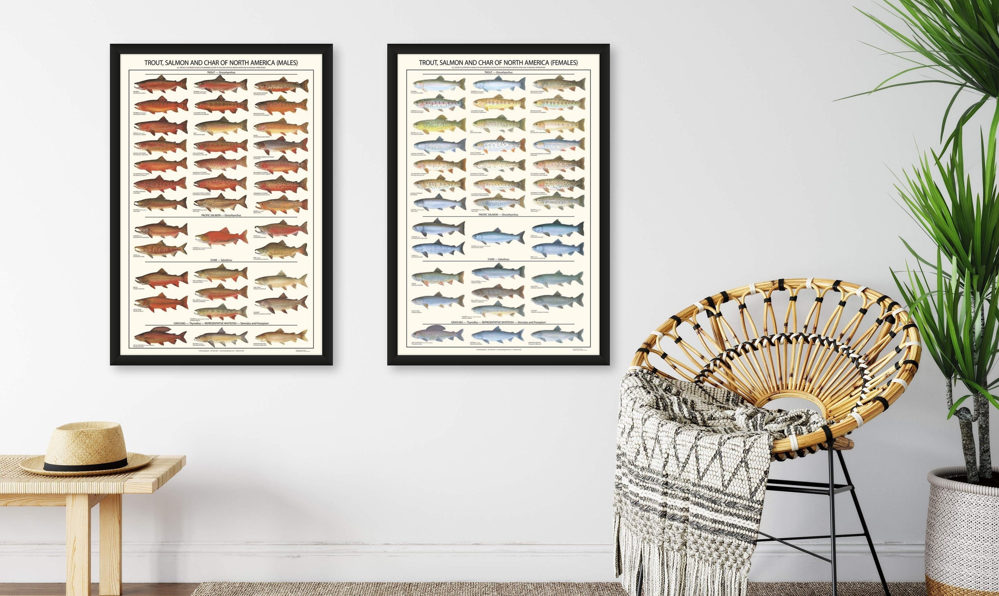 Trout Fish Posters and Identification Charts: