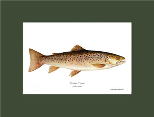 Brown Trout Salmo trutta