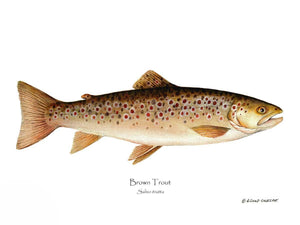 Fish Print: Brown Trout Salmo trutta