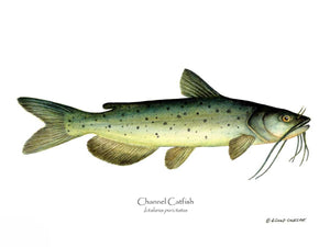 Fish Print: Channel Catfish Ictalurus punctatus