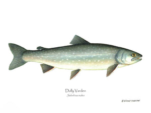 Fish Print: Dolly Varden Salvelinus malmo