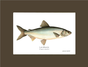 Lake Whitefish Coregonus clupeaform