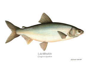 Fish Print: Lake Whitefish Coregonus clupeaform