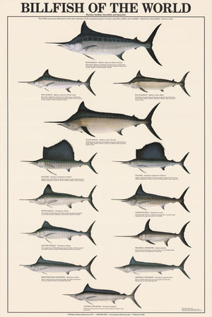 Billfish Species Identification Poster