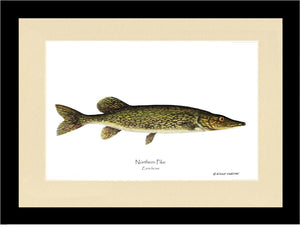 Pike Northern Esox lucius