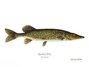 Fish Print: Pike Northern Esox lucius
