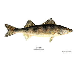 Fish Print: Sauger Stizostedion canadense