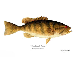 Fish Print: Smallmouth Bass Micropterus dolomieui