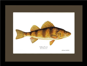 Yellow Perch Perca flavescens