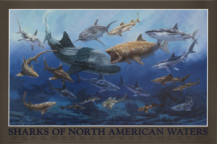 Sharks of North American Waters Poster