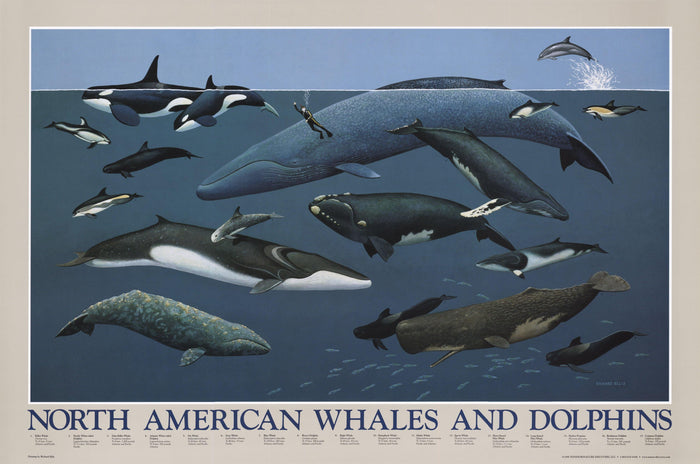 North American Whales and Dolphins Poster