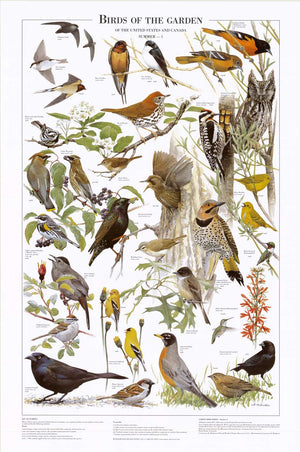 Birds of the Garden Mini Poster and Identification chart