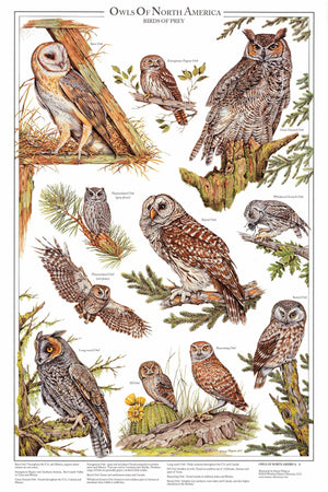 Owls Of North America Vol 2 - Mini Poster