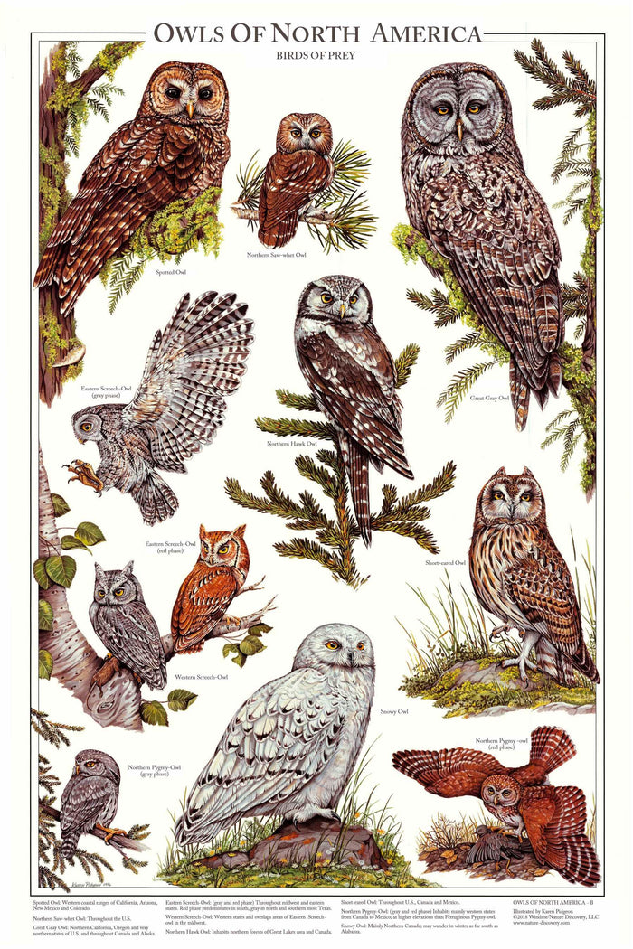 Owls of North America Poster/Identification Chart Vol 2