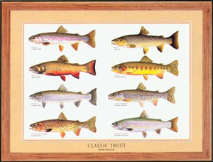 Classic Trout Species Poster Identification Chart - Tomelleri's