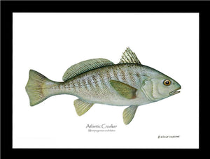 Fish Print: Croaker, Atlantic Micropogonias undulates