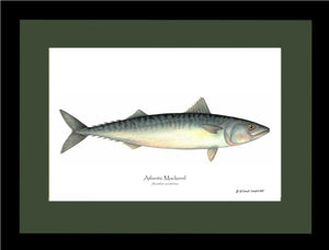 Fish Print: Mackerel, Atlantic Scomber scombrus