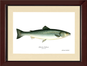 Fish Print: Salmon, Atlantic Salmo salar
