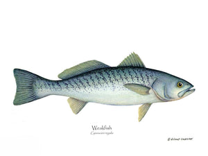 Fish Print: Weakfish Cynoscion rega