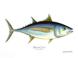 Fish Print: Atlantic tuna Thunnus alalunga