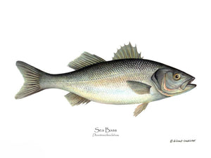 Fish Print: Sea Bass Dicentrarchus labrax