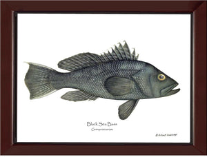 Black Sea Bass Centropristis striata