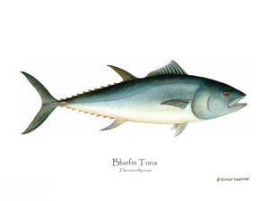 Fish Print: Bluefin tuna Thunnus thynnus