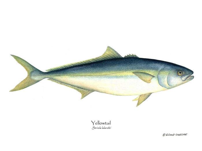 Yellowtail Tuna Seriola lalandei