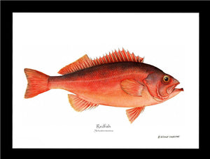 Ocean Perch Redfish Sebastes marinus