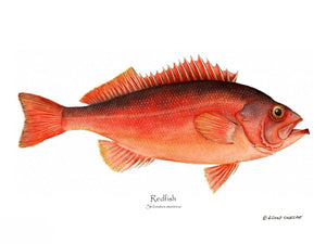 Fish Print: Ocean Perch Redfish Sebastes marinus