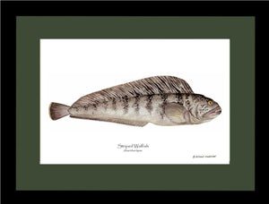 Striped Wolffish Anarichus lupus